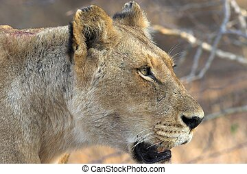 Lioness - Side profile of a lioness searching for prey