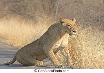 Scarred Lioness - Scarred adult lioness getting up after her...