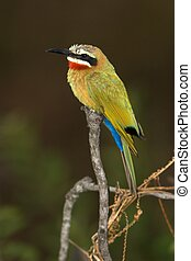 Bee-Eater - White-Fronted Bee-Eater found in the Kruger...