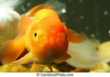 Lion head goldfish - A close up of a lion head goldfish