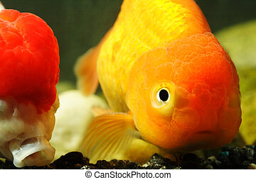 Lion head goldfish - A close up of lion head goldfish