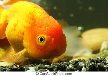 Lion head goldfish - A close up shot of a lion head goldfish