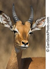 Impala Male - Young Impala Male with its ears spread