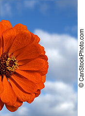 Orange Zinnia - Close-up of orange Zinnia with sky and...
