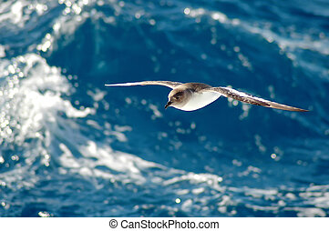 Antarctic petrel drifting in front of a blue wave