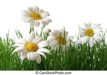 Daisy Field Macro - White and yellow daisies in grass field...