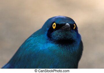 Blue-Eared Starling - Extreme close up of a Greater...