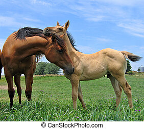 Quarter Horses - Young foal and yearling filly greeting each...