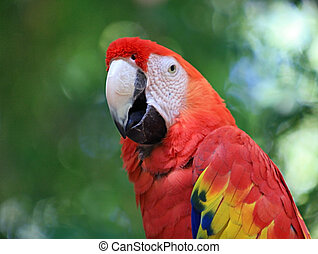 Scarlet Macaw - Gorgeous scarlet macaw against a green,...