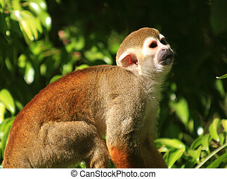 Squirrel Monkey - Tiny squirrel monkey sitting amidst...