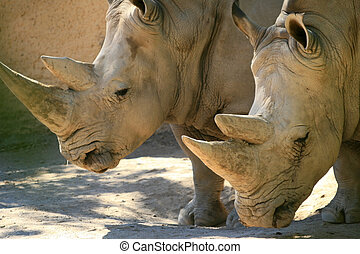 Rhinos - Two old friend rhinos stand together in the shade