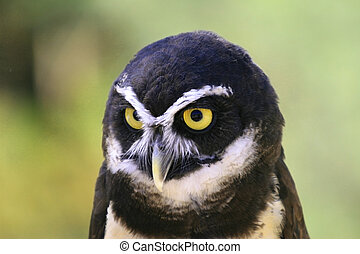 Spectacled Owl - Piercing yellow eyes of spectacled owl