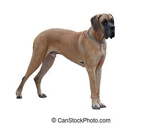 German dogge