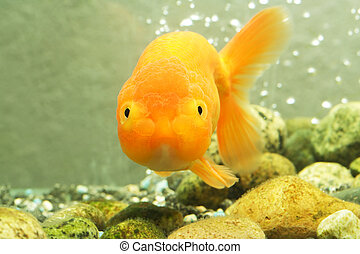 Lion head goldfish - A lion head goldfish inside an aquarium