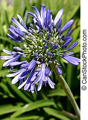 Agapanthus Flower - Close up of blue agapanthus flower