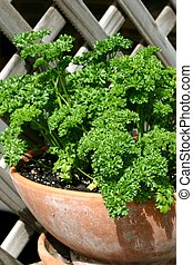 Parsley herb in terracotta pot