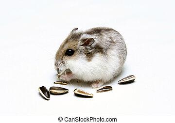 Dwarf Hamster - A Dwarf Hamster Eating Melon Seeds against a...