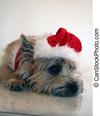 Tired Santa Dog - Our Cairn is having a rest.