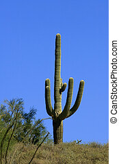 Saguaro Cactus - Multi branched saguaro cactus in the...