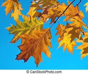 Oak foliage - Autumn colourful foliage of oak some...