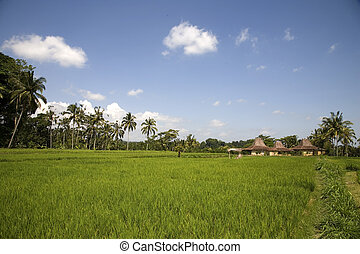 Ricefield 3 - Ricefield on Bali