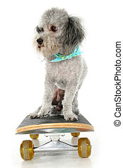 Skater Poodle - Silver toy poodle with bandana on skateboard...