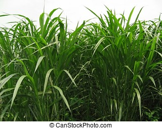 Sugar Cane Field - -- the scientific name for this plant is...