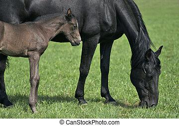 caballo, bebé