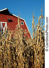 Corn and Barn - Corn during harvest with red barn in the...