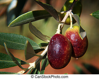 Olives In The Sun - Mature olives in a tree branch This was...