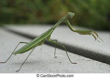 Praying Mantis looking at you - A praying mantis is ready to...