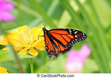 Monarch butterfly - Monarch in the garden