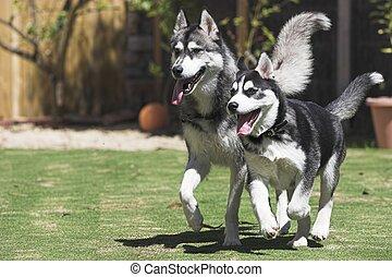 Happy Huskies - Two Happy Huskies