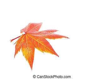 Orange Maple Leaf Isolated on White Background - Photo of a...