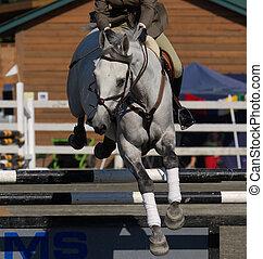Horse taking hurdle - grey stallion as it take jum in local...