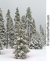 Winter Forrest - Stand of pine trees covered in snow in the...