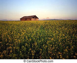 Barn & Canola Field - A barn in a field of canola.