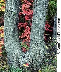 Canyon Maple Tree - A double trunk tree witn red maple...