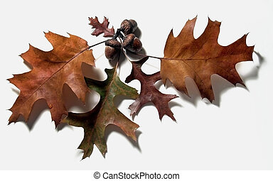 oak leaves and acorns on a white background