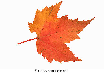 fall maple leaf - isolated image maple leaf fall color