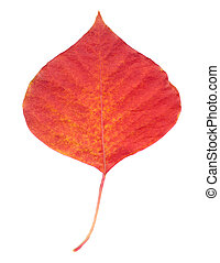 A Red Leaf - A isolated red leaf in white background
