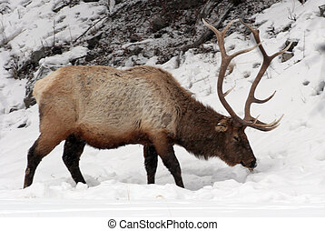 Elk Search for food - A bull elk searches the snow for...