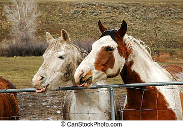 Happy Horses - Two horses sticking their tongues out