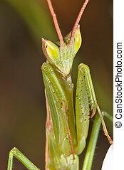 mantis (Apteromantis aptera)