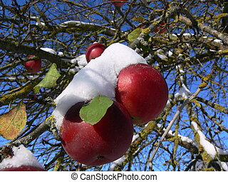 Apples in snow - Red apples covered with snow
