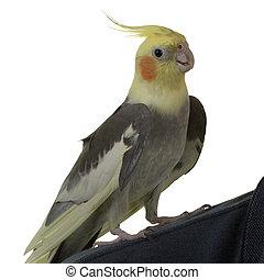 Cockatiel on Shoulder - Cockatiel on owner\\\'s Shoulder, on...