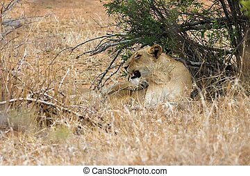 Unhappy Lioness - Lioness growling after being woken up from...