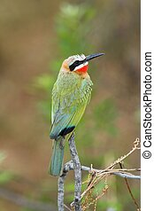 Bee Eater - White-Fronted Bee-Eater sitting on a branch...