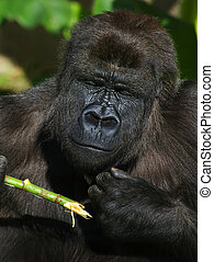Gorilla eating - A female Lowland Gorilla eating.