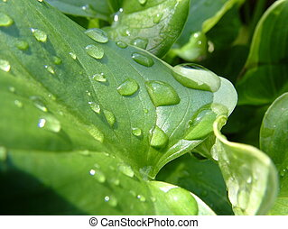 Geen droplet leaf - Droplets on a green leaf